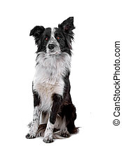 border collie sheepdog - front view of a border collie...
