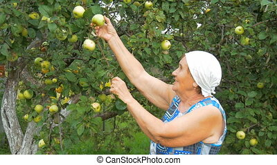 Elderly woman collects apples in the garden