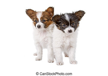 two cute papillon puppies isolated on a white background