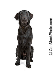 flat coated retriever dog - front view of a flat coated...