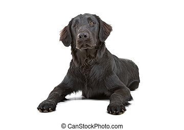 Flat coated retriever dog looking s - Flat coated retriever...