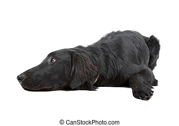 Flat coated retriever dog looking sad, isolated on a white...