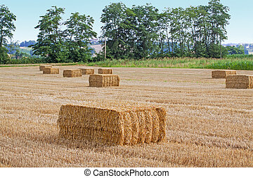 Square bales - Field of wheat with square bales, trees in...