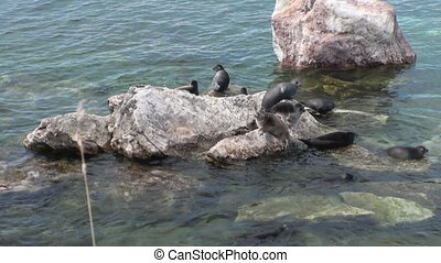 Baikal seal Pusa sibirica on Ushkany Islands - Baikal seal...