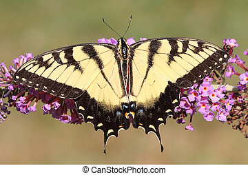 Tiger Swallowtail (papilio glaucas) Butterfly - Eastern...