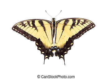 Isolated Tiger Swallowtail Butterfly - Eastern Tiger...