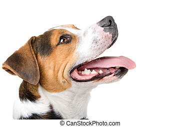 mixed breed dog - head of a mixed breed dog jack russel...