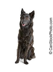 long haired dutch shepherd dog isol - long haired dutch...