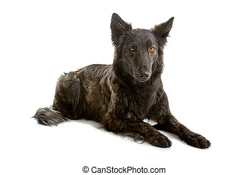 long haired dutch shepherd dog lying down, isolated on a...