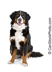bernese mountain dog sitting and looking at camera, isolated...