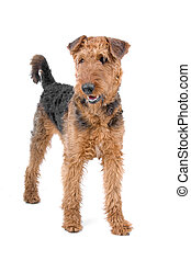 Airedale terrier dog standing and looking at view, isolated...