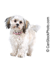 Maltese dog - Front view of cute Maltese dog standing still...