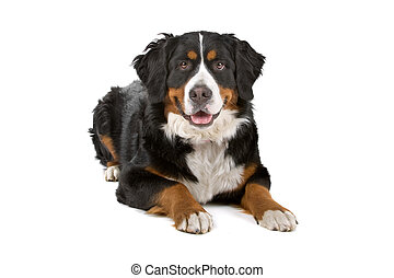 bernese mountain dog lying down, isolated on a white...