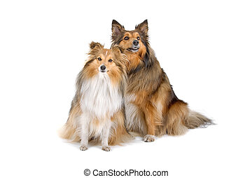 two shetland sheepdogs (sheltie) - two shetland sheepdogs...