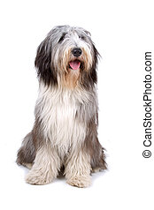 Bearded collie, highland collie dog sitting with the tongue...