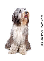 Bearded collie, highland collie dog sitting and looking...