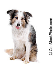 Border collie dog sitting