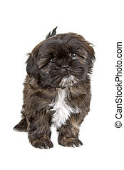 Shih Tzu puppy - Front view of a shih tzu puppy looking at...