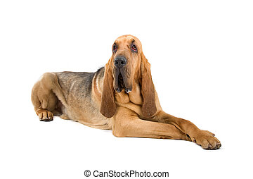 bloodhound , St. Hubert hound - bloodhound ,also known as...