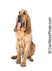 bloodhound , St Hubert hound - bloodhound ,also known as St...
