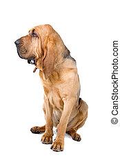 bloodhound , St. Hubert hound