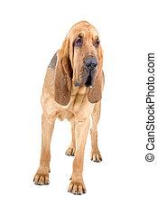 bloodhound , St. Hubert hound - bloodhound ,also known as...