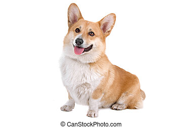Welsh Corgi Pembroke dog sitting and panting, isolated on a...