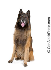 Belgian tervurenchien de berger belge sitting and sticking...