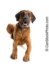 rhodesian,  ridgeback, cão