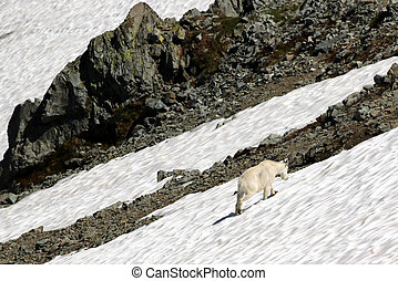 Mountain Goat in a Snow Field