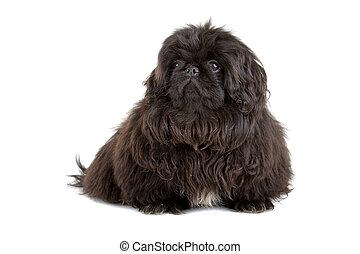 black pekingese puppy isolated on a white background