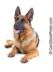 Niemiec, pasterz, pies