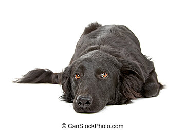Flat coated retriever dog lying down and looking sad,...