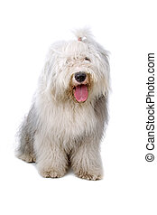 old english sheepdog, bobtail panting isolated on a white...