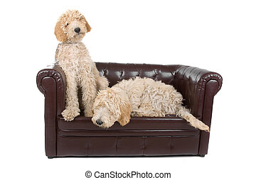 two australian labradoodle dogs