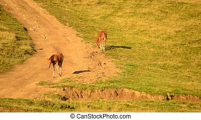 Two young foals grazing on pasture in late summer