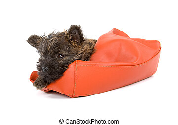 cairn terrier puppy in a hand bag on white background