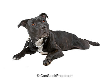 Staffordshire bull terrier - English staffordshire bull...