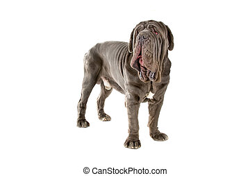 Mastino Napoletano also known as,Mastino,Neapolitan...