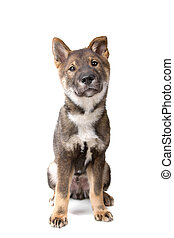 shikoku puppy sitting isolated on a white background