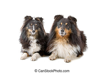 two shethland sheepdogs - two shetland sheepdogs isolated on...