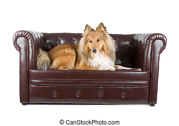 shetland sheepdog - shetland sheephog lying on a couch,...