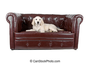 golden retriever puppy resting on a couch