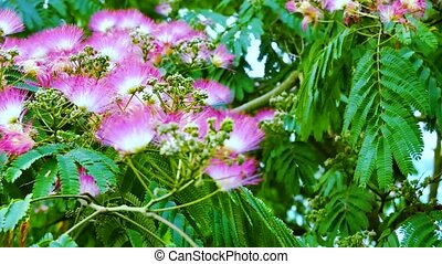 Pink acacia in the garden close up