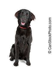 flat-coated retriever dog - front view of sitting...