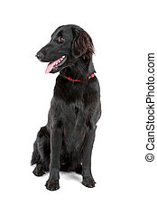flat-coated retriever dog - sitting and looking at side...