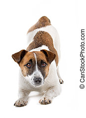 Jack russel terrier dog - Front view of a jack russel...