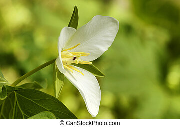 Trillium - Trillium, a spring flower growing on Kamchatka