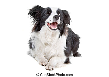 Black and white border collie dog lying on the floor...