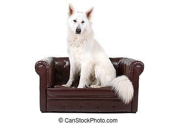 White shepherd dog sitting on a couch isolated on a white...